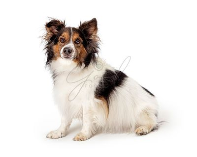 Sitting pet border collie dog studio isolated