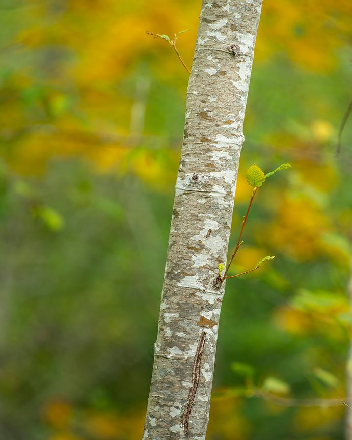 Alder tree trunk in Autumn.