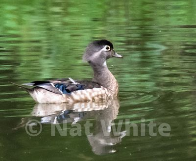 Wood_duck-Filename_number_suffix-_1June_28_2019_NAT_WHITE