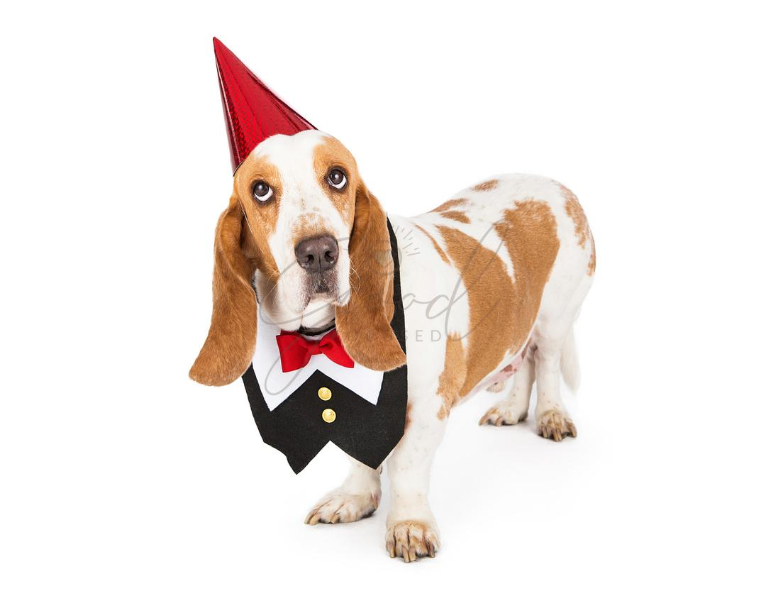 Dog Wearing Tuxedo Vest and Party Hat