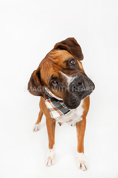 boxer on white background