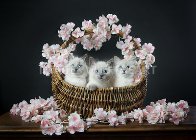Kittens in Spring Basket