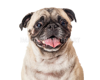 Calm happy Pug tongue out isolated