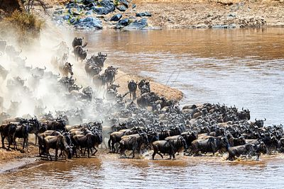 Stampede of Wildebeest and Zebra Herds