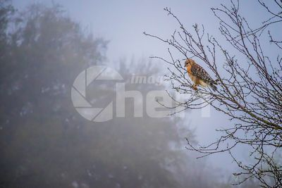 Red-Shouldered Hawk in Lake Hills, Texas