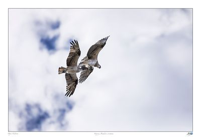 Two juvenile Ospreys flying