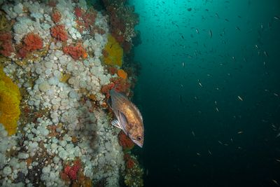 Adult Widow Rockfish, Sebastes entomelas, with juveniles in background, on Browning Wall near Port Hardy.