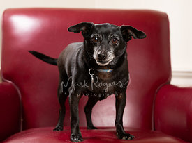 Black Chihuahua Mix Dog Standing on Red Leather Chair