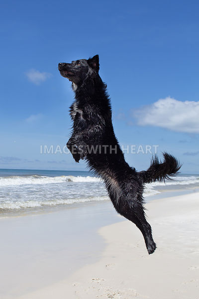 Black dog jumping at beach