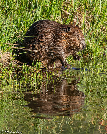 Beaver and Reflection