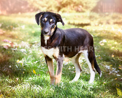 Lab/Swiss Mountain Dog puppy in yard with soft springtime colors