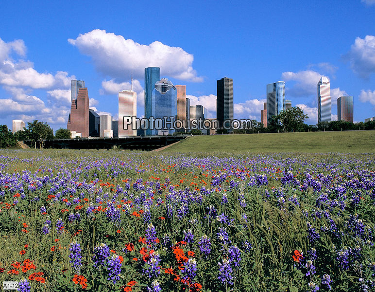 Houston Skyline and Texas Wildflowers