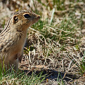 Thirteen Lines Ground Squirrel