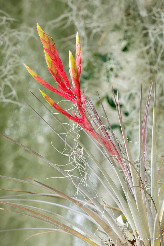 BLOOMING TILLANDSIA CARDINAL AIRPLANT BROMELIAD EVERGLADES FLORIDA