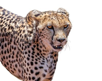 Cheetah Big Cat Closeup Isolated