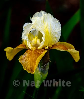 Iris_bloom-white_yellow_Date_(Month_DD_YYYY)1_2500_sec_at_f_5.3_NAT_WHITE