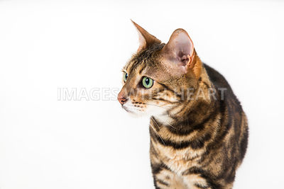 Close Up Bengal Cat Standing on White Background