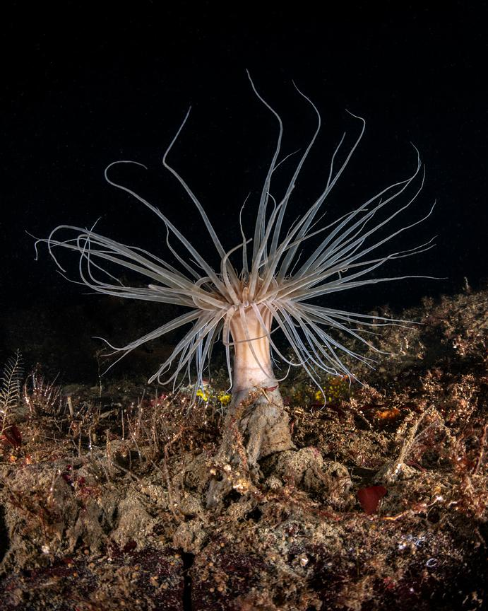 Solitary Tube Dwelling Anemone, Pachycerianthus fimbriatus, on ocean floor