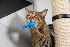 Tabby Cat Mix with Funny Expression Biting Cat Toy