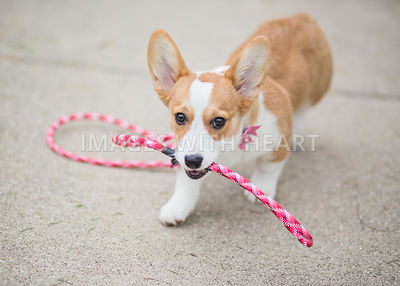 corgi puppy walking herself on leash
