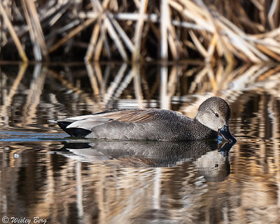 Gadwall at Blackbird Pond