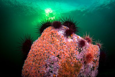 Cluster of Red Urchins on a rock covered with Strawberry Anemone.