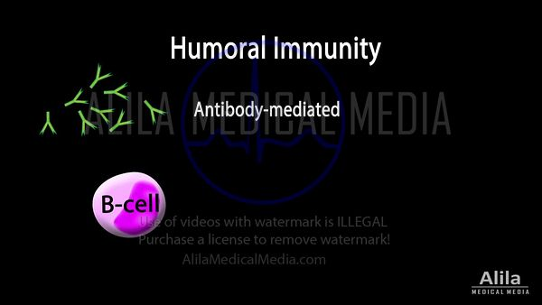 Adaptive immunity part 2 - Humoral immunity NARRATED animation.