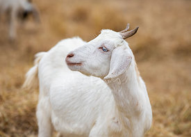 White Goat Looking Left