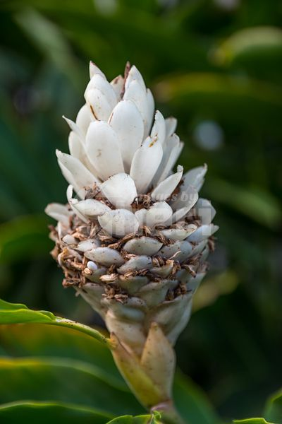 A white cone ginger plant in Maui, Hawaii
