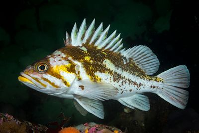 Closeup of Copper Rockfish, Sebastes caurinus, showing its distinctive patterns.
