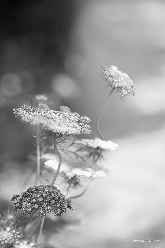 QUEEN ANNE'S LACE PRAIRIE WILDFLOWER BOTANICAL BLACK AND WHITE VERTICAL