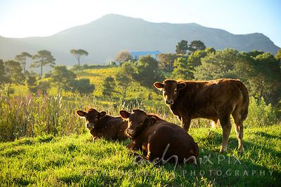 Peaceful cows in a lush green grass