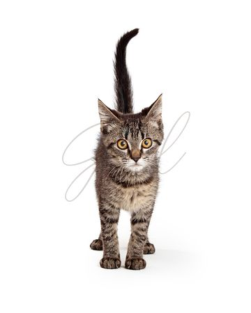 Tabby Kitten Standing on White Facing Forward