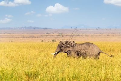 African Elephant Walking Through Tall Grass in Kenya