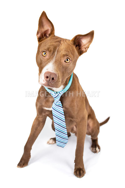 Brown pitbull mix full body sitting wearing tie