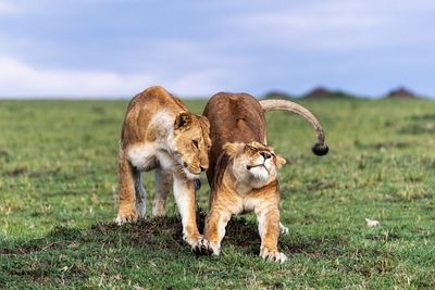 Two African Lioness Together Stretching