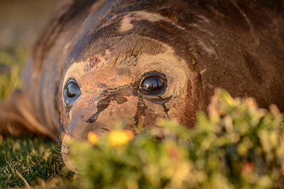 Closeup of male Elephant Seal pup, Mirounga angustirostris, basking in the setting sun.