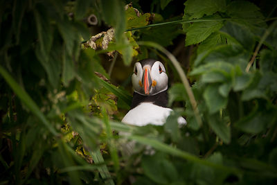 Puffin in Tall Grass