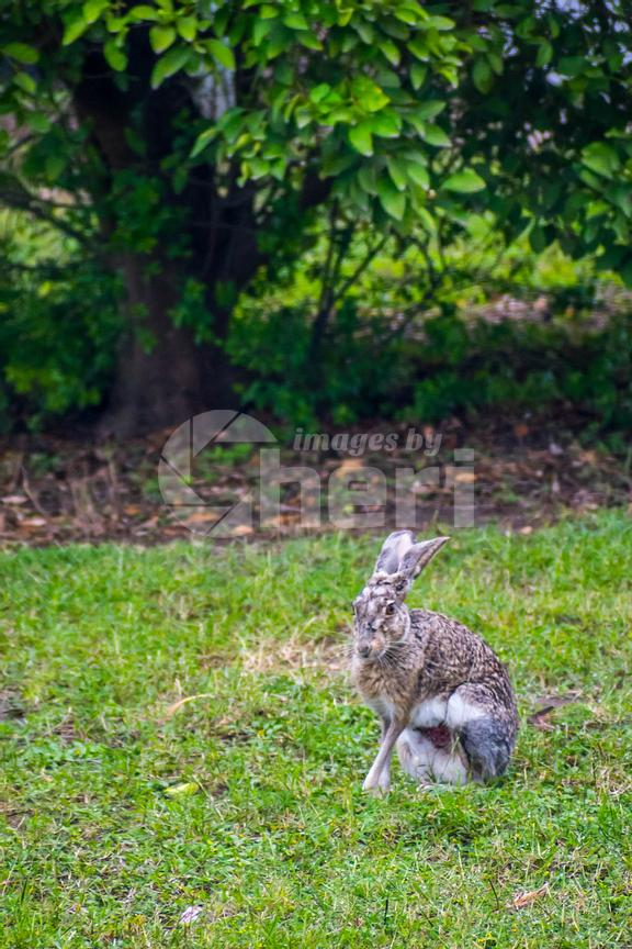 An White Tailed Jack Rabbit in Donna Victoria Palms RV Resort, Texas