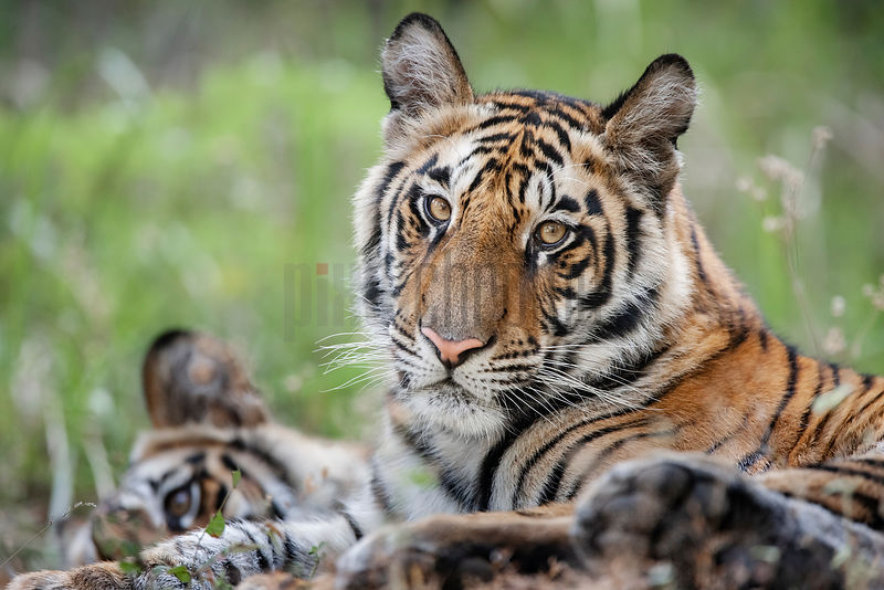 Portrait of an Immature Tiger