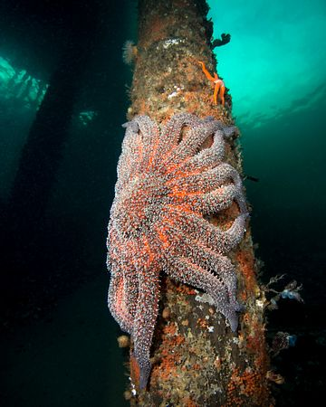 Large Sunflower Star on piling of Argonaut Wharf in Campbell River.