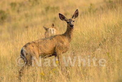 mule_deer_Montana-5810_August_09_2017_Nat_White
