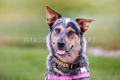Australian Cattle Dog / Blue Heeler Head Shot in Park