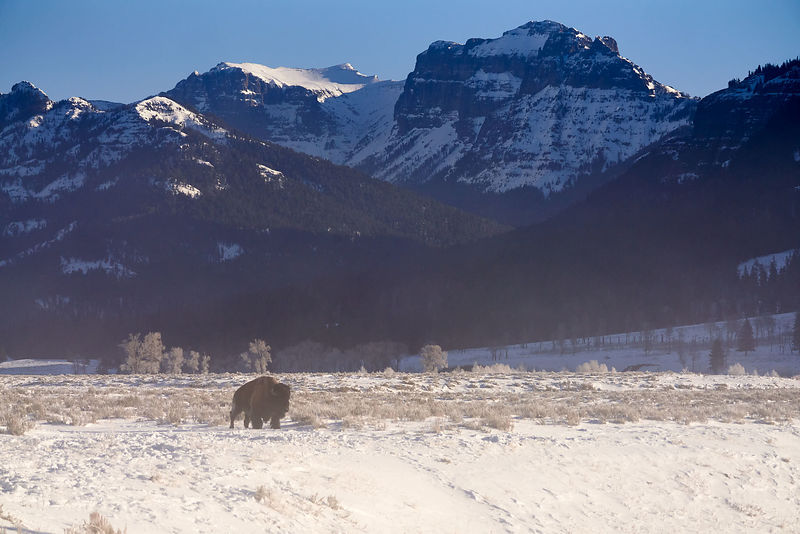 Soda Butte Buffalo