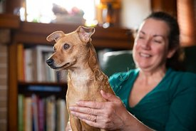 Small Red Dog Looking Forward While Smiling Woman Pets Chest