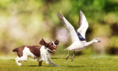 Dog Chasing Bird in Field