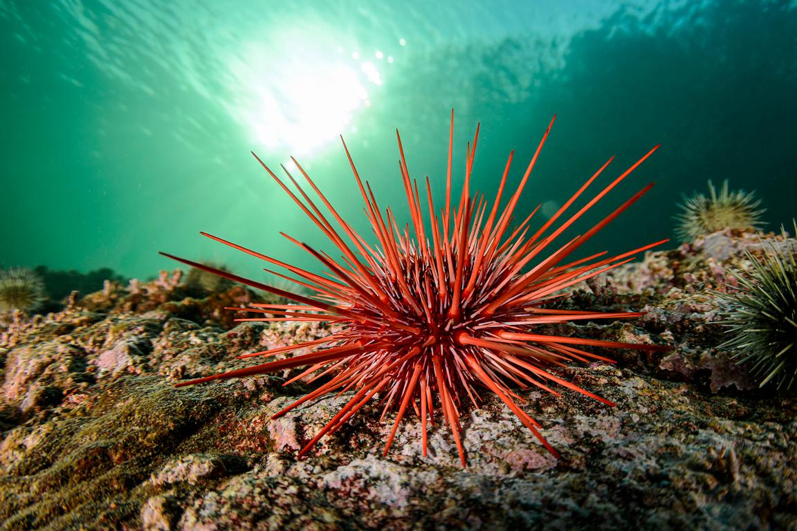 A small Red Sea Urchin, Mesocentrotus franciscanus.