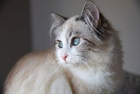 Close-up Profile of Ragdoll Kitten Looking Left