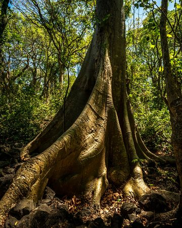Buttressed tree base in Central American jungle.