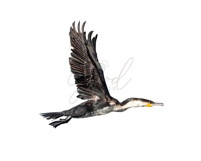 White-Breasted Cormorant In Flight Isolated